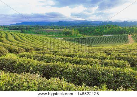 Tea plantation over mountain slope, natural landscape background