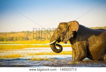 Elephant Wading Across Chobe River Botswana