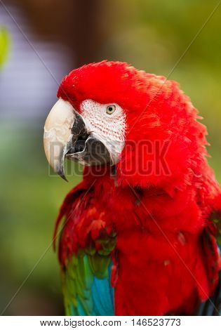 Red head Scarlet macaw parrot. Close up portrait