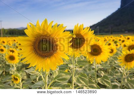 Full bloom sunflowers over hight hill, natural background