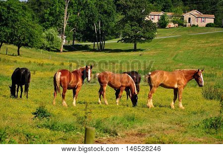 Lancaster County Pennsylvania - June 6 2015: Five sleek horses grazing in a pasture on an Amish farmstead *