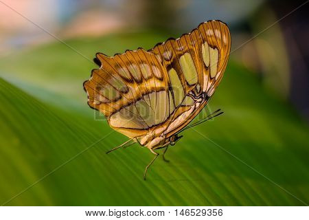 Tropical malachite butterfly in green leafs. Macro photography of nature.