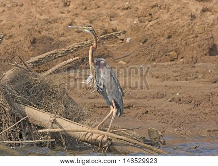 Purple Heron on the Bank of the Kabini River in Nagorhole National Park in India