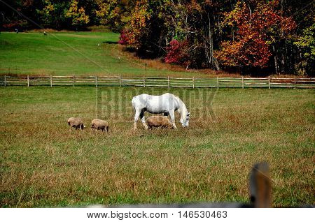 Hopewell Furnace Pennsylvania - October 15 2015: White horse and three sheep grazing at a fenced-in meadow with colorful Autumn foliage