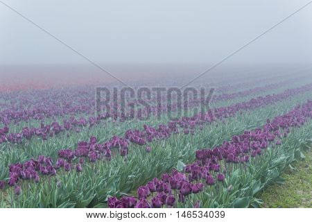 Purple and red tulip fields in dark misty foggy rainy overcast morning dew