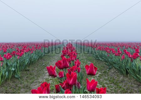 Long field rows of red tulips with vanishing point in dark misty foggy rainy overcast morning dew