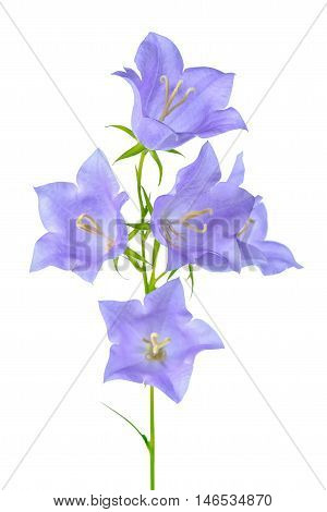 Beautiful Blooming Bluebell Flower Is Isolated On White Background, Element Of Decor, Close Up
