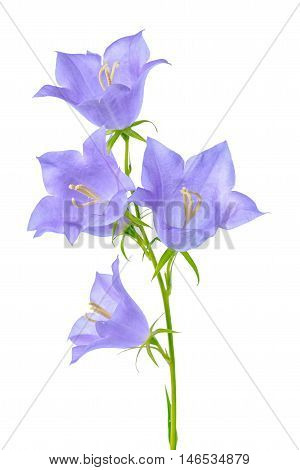 Beautiful Blooming Bluebell Flower Is Isolated On White Background For Decoration, Close Up