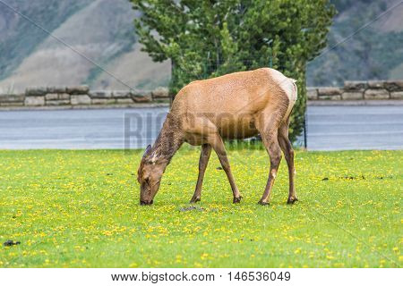 Elk eating yellow flowers grazing in Yellowstone National Park