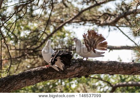 Two doves on the branch of a pine