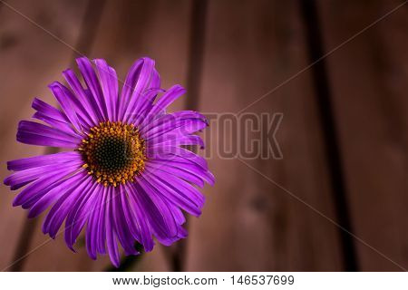 Purple daisy from left side of wooden background