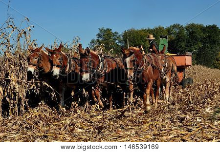 Lancaster County Pennsylvania - October 19 2015: Amish farmer operating a threshing machine removing corn cobs from the dried plants pulled by a team of seven donkeys