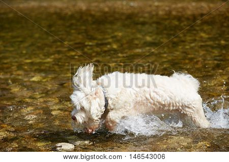 White Havanese Dog Running Across The Water Of The River