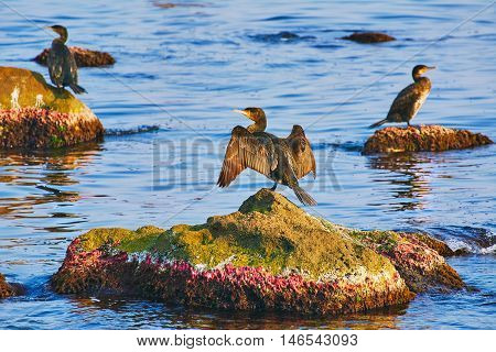 Double-crested Cormorant on Rocks in the Black Sea