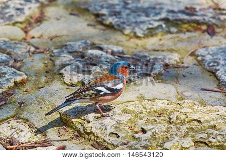 Multicolored Common Chaffinch Resting on the Rock