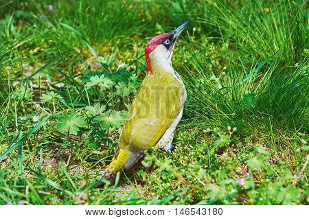 European Green Woodpecker Sitting in the Grass