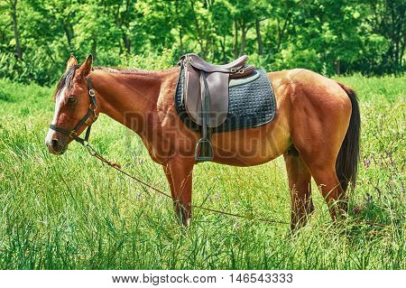 Saddled Chestnut Horse with White Markings in the Field