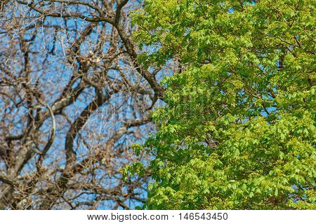 Young Maple Leaves on a Background of Bare Tree