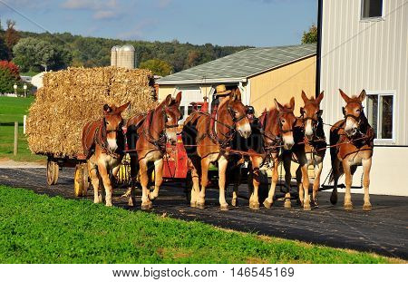 Lancaster County Pennsylvania - October 15 2015: Amish farmer with a cart of baled hay pulled by a team of six donkeys
