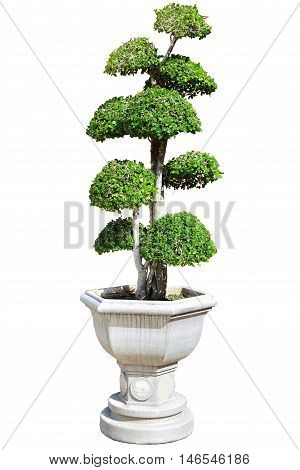 Bonsai tree of banyan in old stone pot isolated on white background.