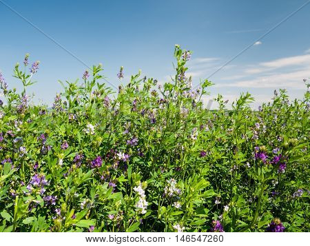 Beautiful rural field with alfalfa flowers on a summer day morning