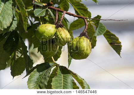 Green chestnuts in a peel on a tree close-up. Nature
