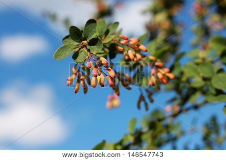 Common barberry (Berberis vulgaris) is a deciduous shrub growing up to 4 m high. It is cultivated for its fruits in many countries.