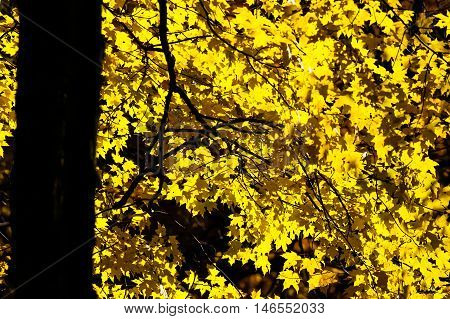 Maple tree with golden color leaves during a Wisconsin Autumn.