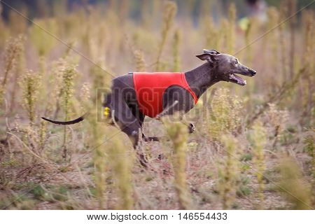 Training Coursing. Italian greyhound dog pursues a bait box. Summer sunny morning