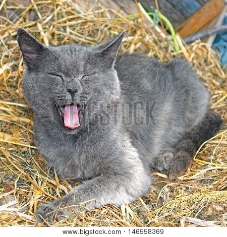 Adult gray cat lying on hay and yawning with pink tongue putting forward and with closed eyes