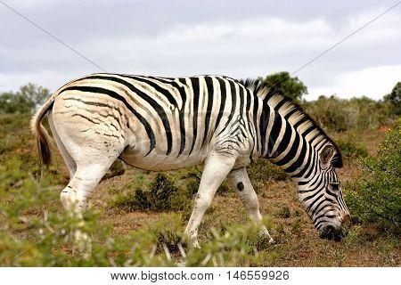 Burchell's zebra (equus quagga). One zebra grazing in the bushveld at Addo Elephant National Park, South Africa