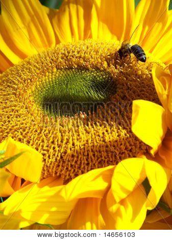 Sunflower with honeybee