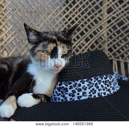 the cat spotty with a black hat lies on a bench