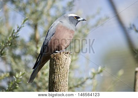 this is a close of a white-browed woodswallow