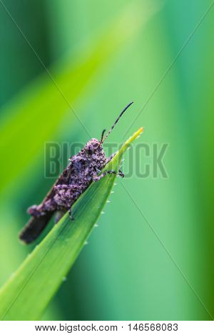 a cute brown grasshopper on green leaf