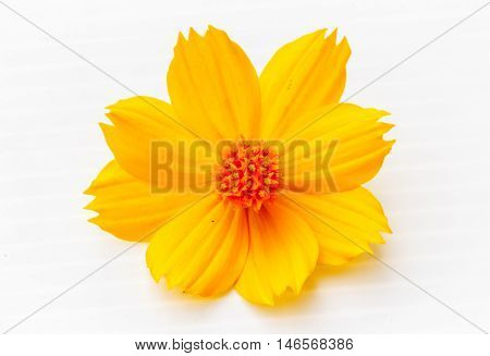 Yellow Cosmos flower beautiful on white background