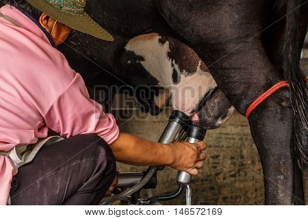 Farm worker milking cows at dairy farm.