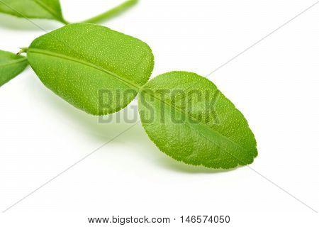 Fresh kaffir lime leaf on a white background