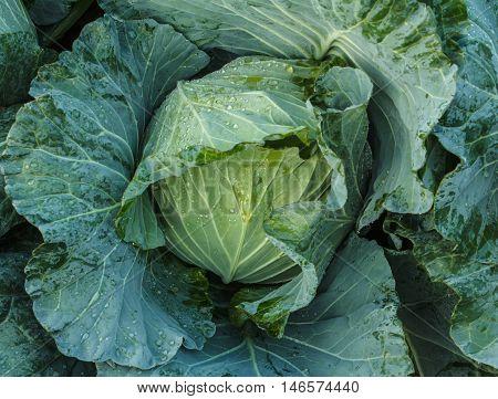 head of cabbage in the kitchen garden