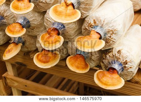 Lingzhi mushrooms in  mushroom farm, chinese traditional medicine.