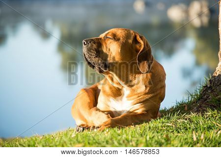 A young male boerbull dog lies under a Weeping Willow tree by the river in the early morning while soaking up the sun.
