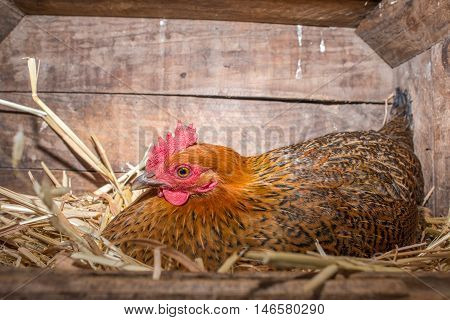 A laying chicken lies in her nest in a box.