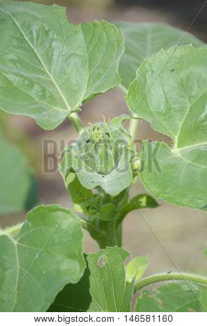 close up bud sunflower in nature garden