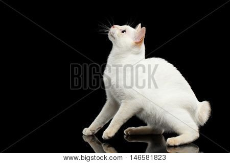 Curious Cat of Breed Mekong Bobtail without tail, Sits, Looking up and want to jump, Isolated Black Background, Color-point White Fur