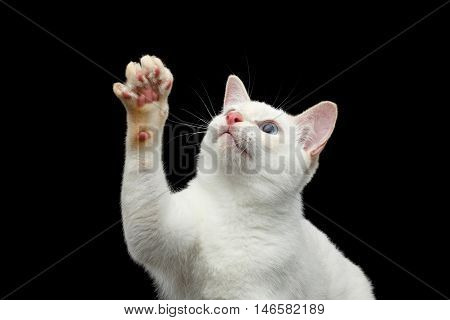 Close-up Portrait of Playful Mekong Bobtail Cat with Blue eyes, Raising up paw, want to touch, Isolated Black Background, Color-point White Fur