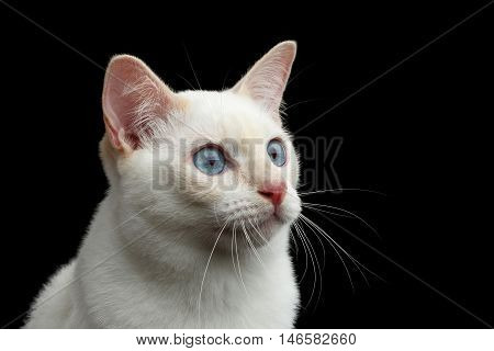 Close-up Portrait of Fun Looks Mekong Bobtail Cat with Blue eyes, Red nose, Isolated Black Background, Color-point White Fur