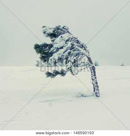 Pine tree covered with frost and snow during a blizzard in the highlands