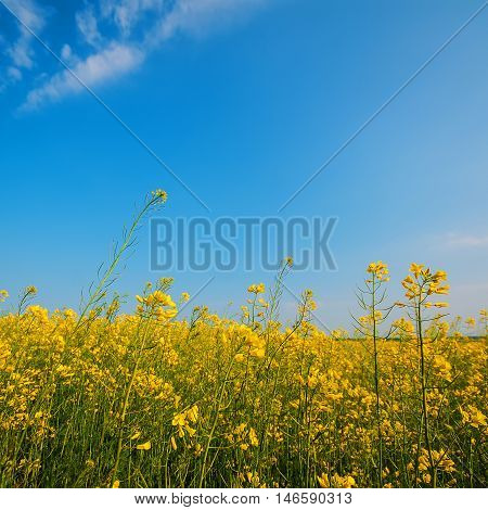 blooming yellow rapeseed flowers in the field against the sky