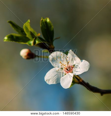 plum blossom on a blurred background sanny day