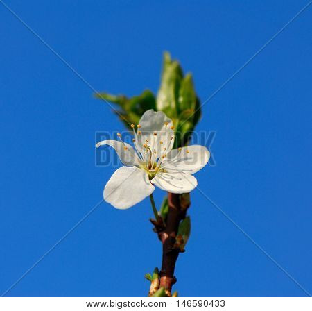 plum blossom on a blurred sky background